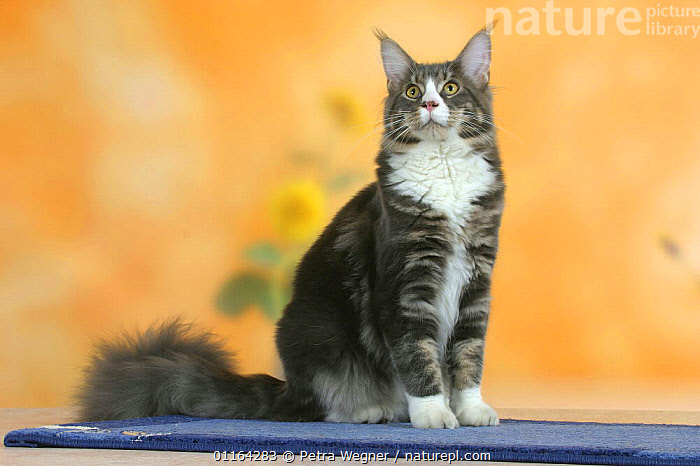Maine Coon Cat  ,  CATS,PEDIGREE,PETS,SITTING,STUDIO,VERTEBRATES  ,  Petra Wegner