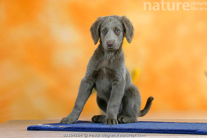 Domestic dog, Long-haired Weimaraner puppy, 9 weeks old, BABIES,BABY,CUTE,DOGS,GUNDOGS,JUVENILE,PEDIGREE,PETS,PUPPIES,PUPPY,SITTING,SPORTING,STUDIO,VERTEBRATES,Canids, Petra Wegner