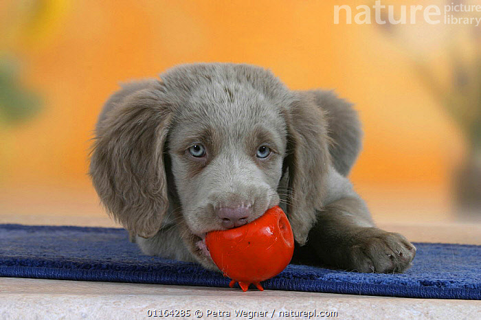 Domestic dog, Long-haired Weimaraner puppy, 9 weeks, with a toy ball in its mouth.  ,  BABIES,BABY,CUTE,DOGS,GUNDOGS,JUVENILE,LYING DOWN,PEDIGREE,PETS,PLAYING,PUPPIES,PUPPY,SPORTING,STUDIO,VERTEBRATES,Canids  ,  Petra Wegner