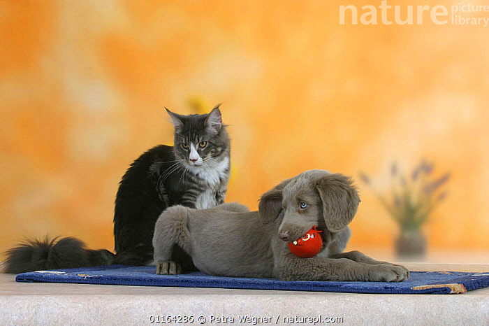 Domestic dog, Long-haired Weimaraner puppy, 9 weeks, and Maine Coon Cat (Felis catus), BABIES,BABY,CATS,CUTE,DOGS,FRIENDS,GUNDOGS,JUVENILE,LYING DOWN,PEDIGREE,PETS,PUPPIES,PUPPY,SPORTING,STUDIO,TOYS,VERTEBRATES,Canids, Petra Wegner