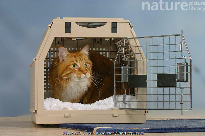 Maine Coon Cat in travel kennel / basket, CAGE,CATS,PEDIGREE,PETS,STUDIO,VERTEBRATES, Petra Wegner