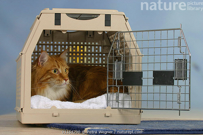 Maine Coon Cat in travel kennel / basket, CAGE,CATS,LYING DOWN,PEDIGREE,PETS,STUDIO,VERTEBRATES, Petra Wegner