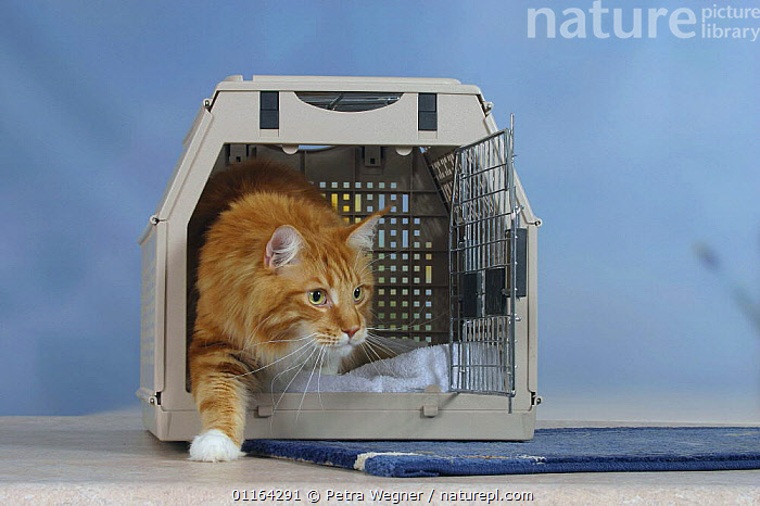 Maine Coon Cat coming out of travel kennel / basket  ,  CATS,PEDIGREE,PETS,STUDIO,VERTEBRATES  ,  Petra Wegner