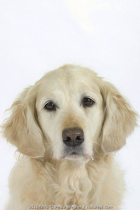 Domestic dog, Golden Retriever  ,  CUTE,CUTOUT,DOGS,FACES,GUNDOGS,PEDIGREE,PETS,SAD,SPORTING,STUDIO,VERTEBRATES,VERTICAL,Concepts,Canids  ,  Petra Wegner