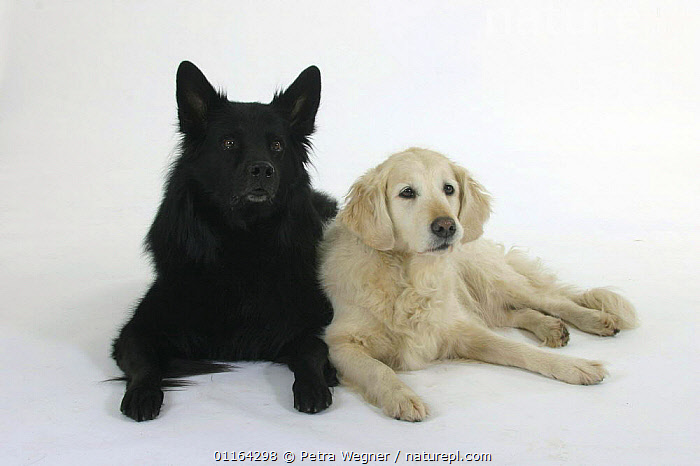 Domestic dogs, Old German Sheepdog and Golden Retriever  ,  BLACK,BREEDS,CUTOUT,DOGS,FRIENDS,GUNDOGS,LYING DOWN,PASTORAL,PEDIGREE,PETS,SPORTING,STUDIO,VERTEBRATES,Canids  ,  Petra Wegner