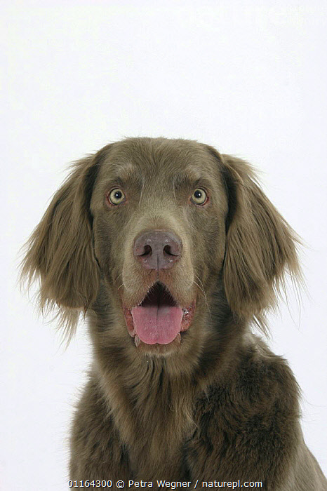 Domestic dog, Long-haired Weimaraner  ,  CUTE,CUTOUT,DOGS,FACES,FUNNY,GUNDOGS,PANTING,PEDIGREE,PETS,SPORTING,STUDIO,VERTEBRATES,VERTICAL,Canids  ,  Petra Wegner
