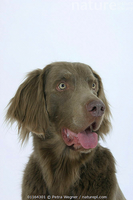 Domestic dog, Long-haired Weimaraner, CUTOUT,DOGS,FACES,GUNDOGS,HEADS,PANTING,PEDIGREE,PETS,SPORTING,STUDIO,VERTEBRATES,VERTICAL,Canids, Petra Wegner