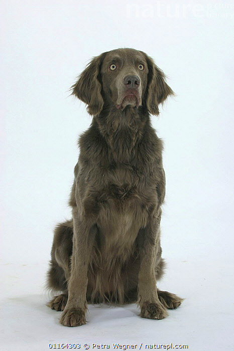 Domestic dog, Long-haired Weimaraner, CUTOUT,DOGS,GUNDOGS,PEDIGREE,PETS,SITTING,SPORTING,STUDIO,VERTEBRATES,VERTICAL,Canids, Petra Wegner