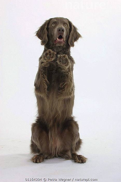 Domestic dog, Long-haired Weimaraner sitting on hind legs with front paws in the air  ,  CUTOUT,DOGS,GUNDOGS,PEDIGREE,PETS,SITTING,SPORTING,STUDIO,TRAINED,TRICKS,VERTEBRATES,VERTICAL,Canids  ,  Petra Wegner