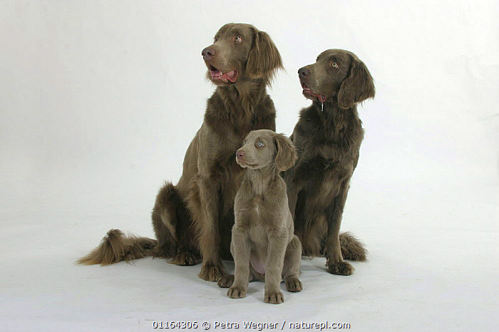 Domestic dogs, Long-haired Weimaraner pair with puppy, 10 weeks, BABIES,BABY,CUTE,CUTOUT,DOGS,FAMILIES,FATHER,GUNDOGS,JUVENILE,MOTHER,PEDIGREE,PETS,PUPPIES,PUPPY,SITTING,SPORTING,STUDIO,VERTEBRATES,Canids, Petra Wegner