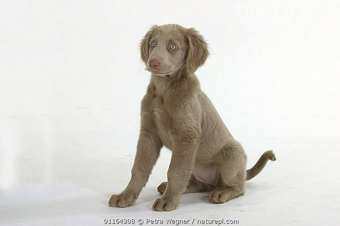 Domestic dog, Long-haired Weimaraner puppy, 10 weeks  ,  BABIES,BABY,CUTE,CUTOUT,DOGS,GUNDOGS,JUVENILE,PEDIGREE,PETS,PUPPIES,PUPPY,SPORTING,STUDIO,VERTEBRATES,Canids  ,  Petra Wegner
