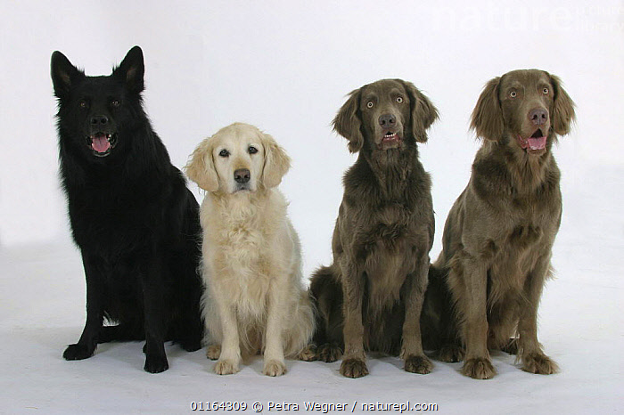 Domestic dogs, Old German Shepdog, Golden Retriever and Long-haired Weimaraners sitting in a line, BLACK,BREEDS,CUTOUT,DOGS,FRIENDS,GUNDOGS,PASTORAL,PEDIGREE,PETS,ROW,SITTING,SPORTING,STUDIO,VERTEBRATES,Canids, Petra Wegner