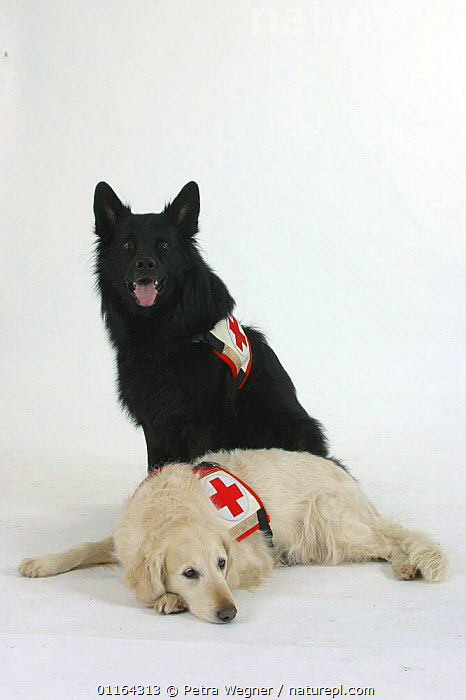 Rescue Dogs, Old German Sheepdog and Golden Retriever, BLACK,BREEDS,CUTOUT,DOGS,FRIENDS,GUNDOGS,LYING DOWN,PASTORAL,PEDIGREE,PETS,SITTING,SPORTING,STUDIO,VERTEBRATES,VERTICAL,Canids, Petra Wegner