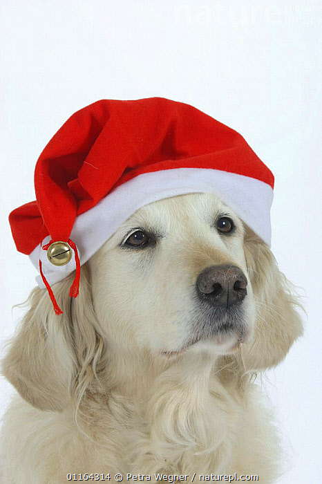 Domestic dog, Golden Retriever wearing Christmas hat.  ,  CUTE,CUTOUT,DOGS,FESTIVE,GUNDOGS,HUMOUROUS,PEDIGREE,PETS,SPORTING,STUDIO,VERTEBRATES,VERTICAL,Canids  ,  Petra Wegner