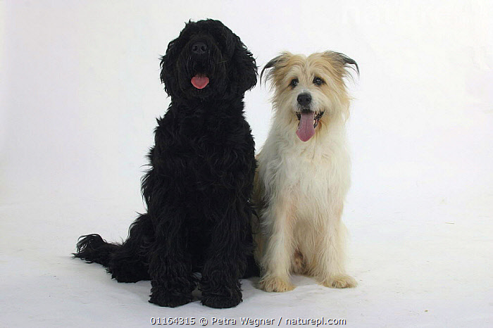Domestic dogs, Black Russian Terrier and Mixed Breed Dog  ,  BREEDS,CUTOUT,DOGS,FRIENDS,HALF BREED,MONGREL,MUTT,PANTING,PEDIGREE,PETS,SITTING,STUDIO,UTILITY,VERTEBRATES,WORKING,Canids  ,  Petra Wegner