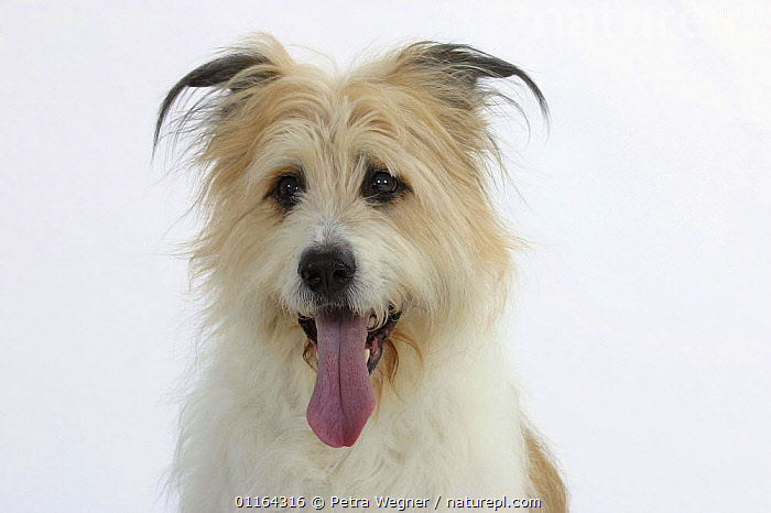 Domestic dog, Mixed Breed Dog  ,  CUTE,CUTOUT,DOGS,FACES,HALF BREED,MONGREL,MUTT,PETS,STUDIO,TONGUES,VERTEBRATES,Canids  ,  Petra Wegner