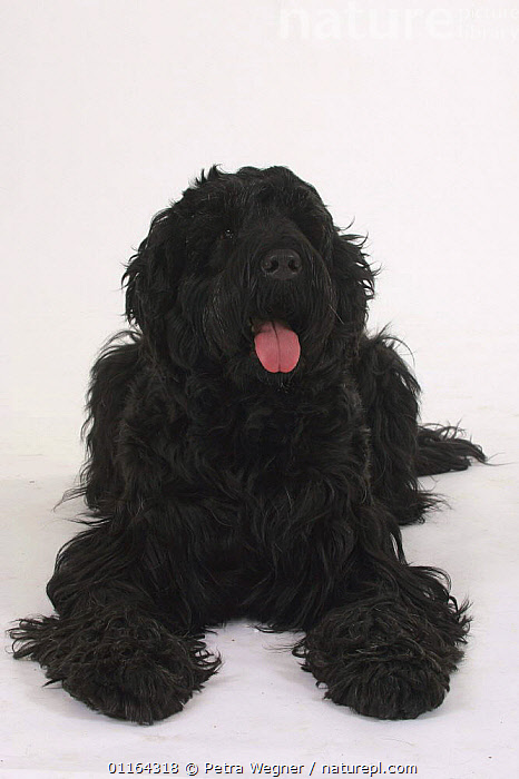 Domestic dog, Black Russian Terrier portrait  ,  CUTE,CUTOUT,DOGS,LYING DOWN,PANTING,PEDIGREE,PETS,STUDIO,UTILITY,VERTEBRATES,VERTICAL,WORKING,Canids  ,  Petra Wegner