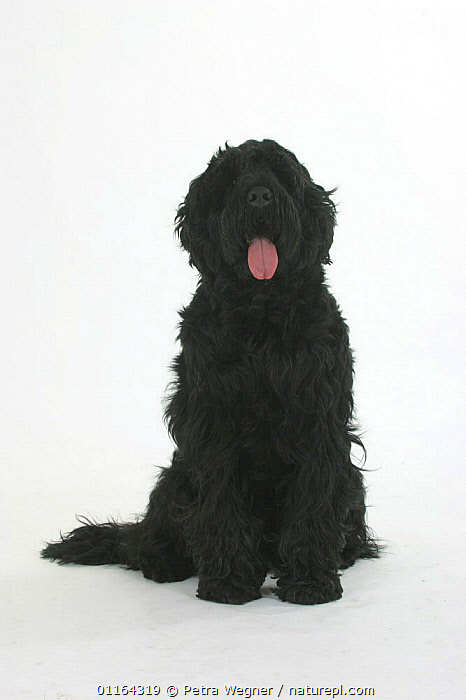 Domestic dog, Black Russian Terrier portrait  ,  CUTE,CUTOUT,DOGS,PANTING,PEDIGREE,PETS,SITTING,STUDIO,UTILITY,VERTEBRATES,VERTICAL,WORKING,Canids  ,  Petra Wegner