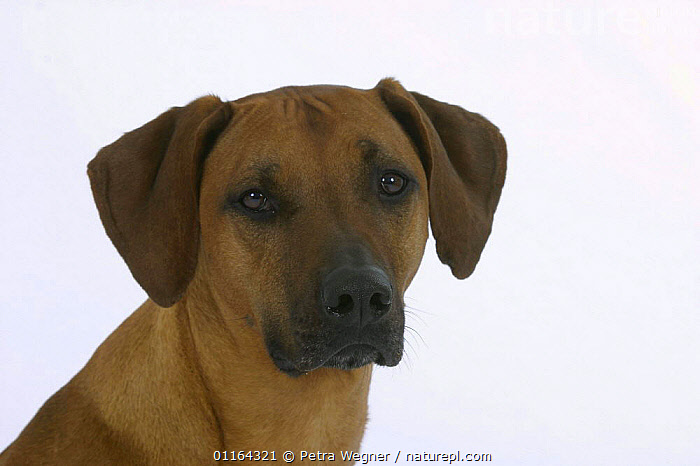 Domestic dog, Rhodesian Ridgeback, CUTE,CUTOUT,DOGS,EXPRESSION,FACES,HOUNDS,PEDIGREE,PETS,SAD,STUDIO,VERTEBRATES,Concepts,Canids, Petra Wegner
