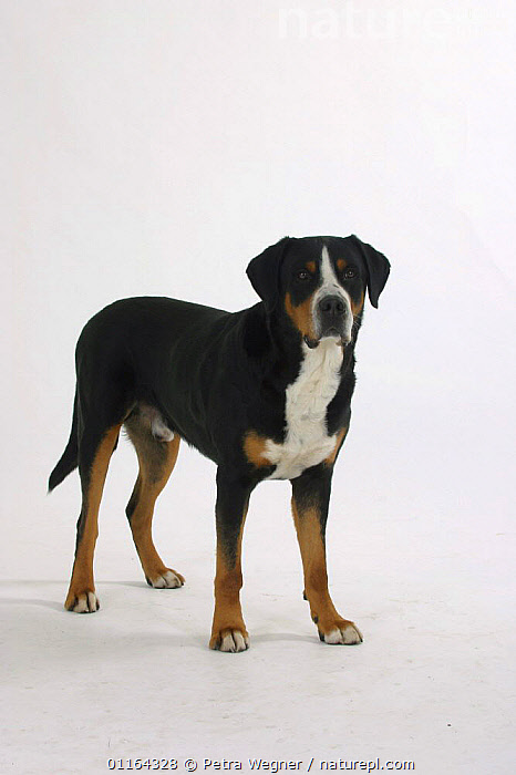 Domestic dog, Greater Swiss Mountain Dog  ,  CUTOUT,DOGS,PEDIGREE,PETS,STANDING,STUDIO,UTILITY,VERTEBRATES,VERTICAL,WORKING,Canids  ,  Petra Wegner