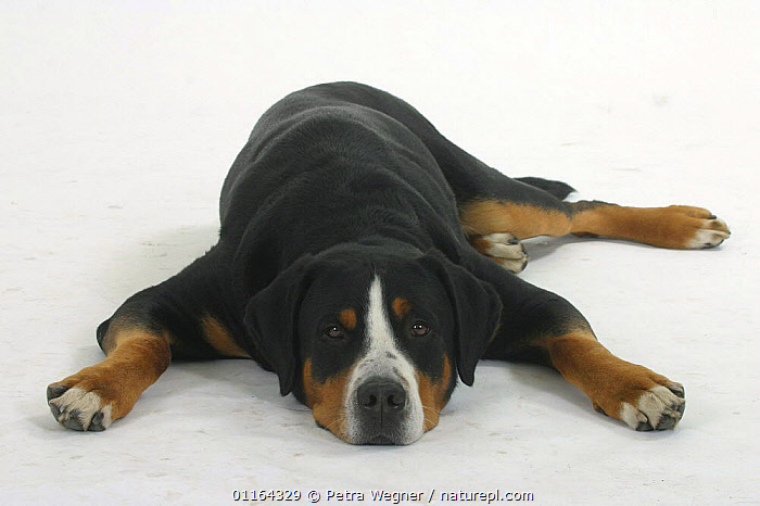 Domestic dog, Greater Swiss Mountain Dog  ,  CUTOUT,DOGS,LYING DOWN,PEDIGREE,PETS,STUDIO,UTILITY,VERTEBRATES,WORKING,Canids  ,  Petra Wegner