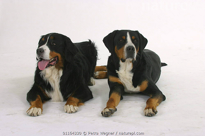 Domestic dog, Bernese Mountain Dog and Greater Swiss Mountain Dog  ,  CUTOUT,DOGS,FRIENDS,LYING DOWN,PEDIGREE,PETS,STUDIO,TWO,UTILITY,VERTEBRATES,WORKING,Canids  ,  Petra Wegner