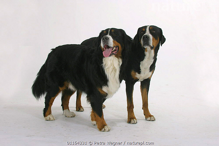 Domestic dog, Bernese Mountain Dog and Greater Swiss Mountain Dog  ,  CUTOUT,DOGS,FRIENDS,PEDIGREE,PETS,STANDING,STUDIO,TWO,UTILITY,VERTEBRATES,WORKING,Canids  ,  Petra Wegner