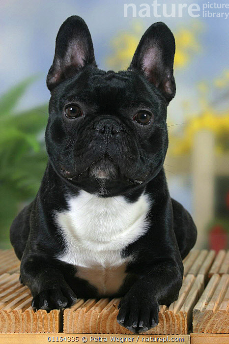 Domestic dog, French Bulldog  ,  BLACK,CUTE,DOGS,EARS,FACES,PEDIGREE,PETS,STUDIO,UTILITY,VERTEBRATES,VERTICAL,WORKING,Canids  ,  Petra Wegner
