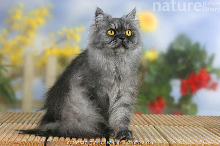Persian Cat, black-smoke  ,  CATS,FLUFFY,PEDIGREE,PETS,SITTING,STUDIO,VERTEBRATES  ,  Petra Wegner