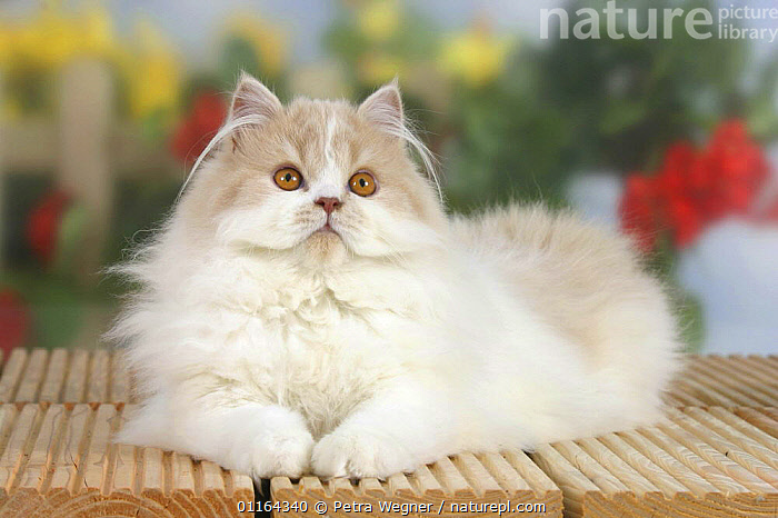 Persian Cat, cream-white-harlequin, CATS,FLUFFY,lying down,pedigree,PETS,Studio,VERTEBRATES, Petra Wegner