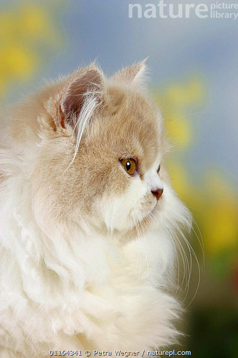 Persian Cat, cream-white-harlequin  ,  CATS,FACES,FLUFFY,HEADS,pedigree,PETS,Studio,VERTEBRATES,VERTICAL  ,  Petra Wegner