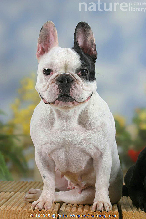 Domestic dog, French Bulldog bitch  ,  DOGS,EARS,female,funny,humourous,pedigree,PETS,SITTING,smiling,Studio,utility,VERTEBRATES,VERTICAL,WORKING,Canids  ,  Petra Wegner