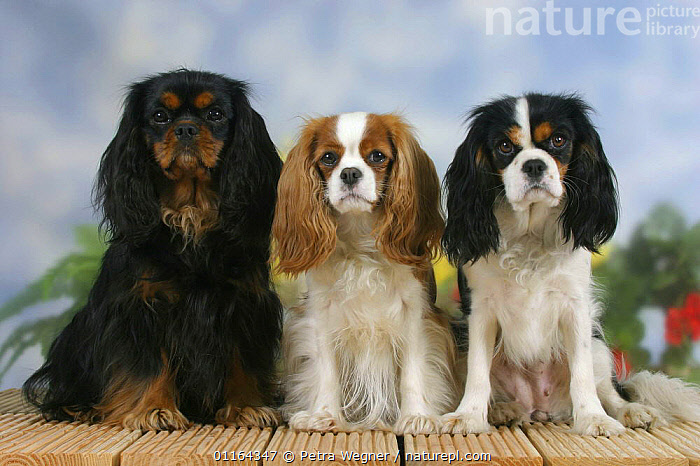 Domestic dogs, three Cavalier King Charles Spaniel (black and tan, Blenheim and tricolor) sitting in a line, Color,colour,CUTE,DOGS,FRIENDS,pedigree,PETS,ROW,SITTING,Studio,toy dogs,VERTEBRATES,Canids, Petra Wegner