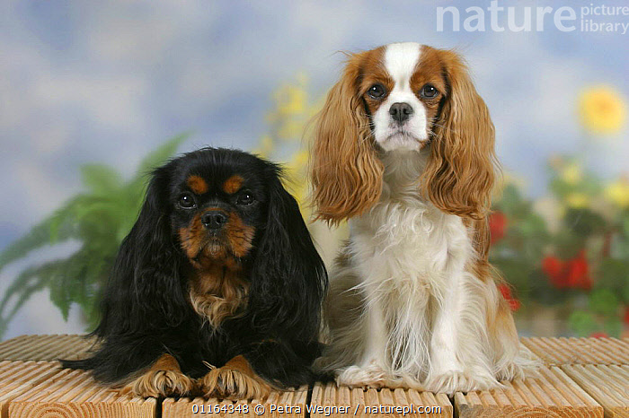 Domestic dogs, Cavalier King Charles Spaniels (black and tan and Blenheim)  ,  CUTE,DOGS,FRIENDS,lying down,pedigree,PETS,SITTING,Studio,toy dogs,two,VERTEBRATES,Canids  ,  Petra Wegner