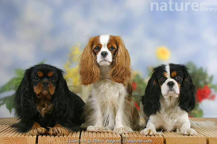 Domestic dogs, three Cavalier King Charles Spaniel (black and tan, Blenheim and tricolor) in a line  ,  Color,colour,CUTE,DOGS,FRIENDS,lying down,pedigree,PETS,ROW,SITTING,Studio,toy dogs,VERTEBRATES,Canids  ,  Petra Wegner