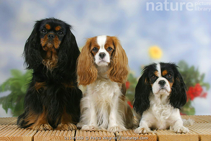 Domestic dogs, three Cavalier King Charles Spaniel (black and tan, Blenheim and tricolor) in a line, Color,colour,CUTE,DOGS,FRIENDS,lying down,pedigree,PETS,ROW,SITTING,Studio,toy dogs,VERTEBRATES,Canids, Petra Wegner