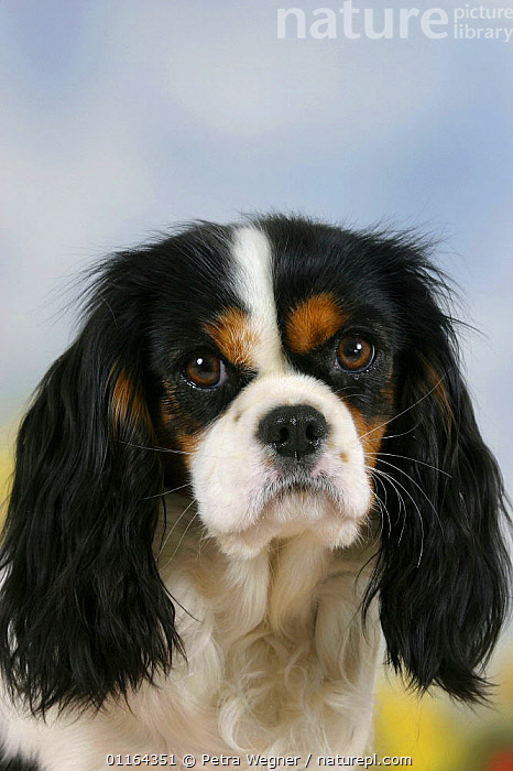 Domestic dog, Cavalier King Charles Spaniel (tricolor)  ,  CUTE,DOGS,EARS,FACES,pedigree,PETS,Studio,toy dogs,VERTEBRATES,VERTICAL,Canids  ,  Petra Wegner