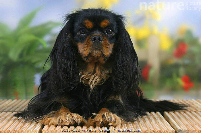 Domestic dog, Cavalier King Charles Spaniel (black and tan)  ,  DOGS,lying down,pedigree,PETS,Studio,toy dogs,VERTEBRATES,Canids  ,  Petra Wegner