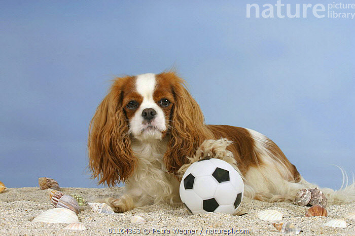 Domestic dog, Cavalier King Charles Spaniel (Blenheim) with ball  ,  DOGS,lying down,pedigree,PETS,playing,sand,set up,Studio,toy dogs,VERTEBRATES,Canids  ,  Petra Wegner