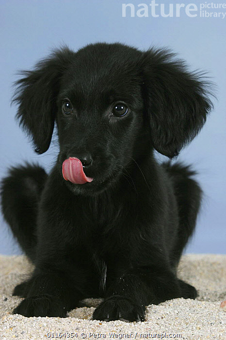 Domestic dog, Flat Coated Retriever puppy, 12 weeks, licking his nose, BABIES,BABY,BLACK,CUTE,DOGS,gundogs,JUVENILE,pedigree,PETS,puppies,puppy,sporting,Studio,VERTEBRATES,VERTICAL,Canids, Petra Wegner