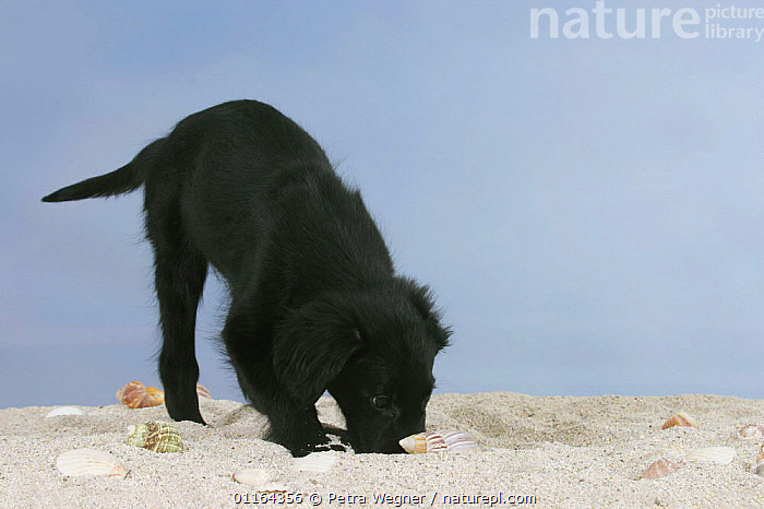 Domestic dog, Flat Coated Retriever, puppy, 12 weeks, digging and sniffing in sand  ,  BABIES,BABY,BLACK,CUTE,DOGS,gundogs,JUVENILE,pedigree,PETS,puppies,puppy,sporting,Studio,VERTEBRATES,Canids  ,  Petra Wegner