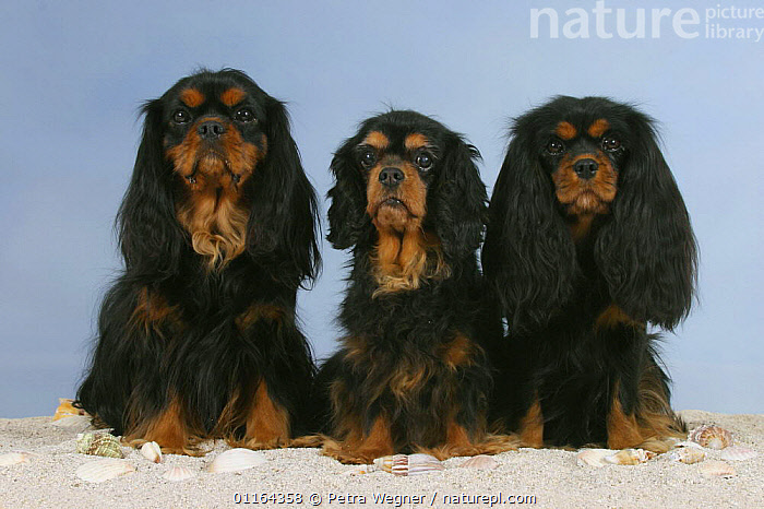 Domestic dogs, three Cavalier King Charles Spaniels (black and tan), BLACK,CUTE,DOGS,FRIENDS,pedigree,PETS,SITTING,Studio,toy dogs,VERTEBRATES,Canids, Petra Wegner