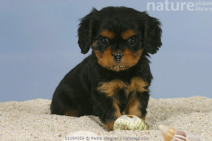 Domestic dog, Cavalier King Charles Spaniel puppy(black and tan), 6 weeks,  in sand  ,  BABIES,BABY,CUTE,DOGS,JUVENILE,pedigree,PETS,puppies,puppy,SITTING,Studio,toy dogs,VERTEBRATES,Canids  ,  Petra Wegner