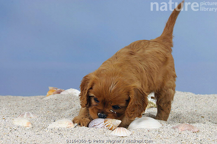 Domestic dog, Cavalier King Charles Spaniel puppy (ruby), 6 weeks, playing with shell., BABIES,BABY,CUTE,DOGS,JUVENILE,pedigree,PETS,puppies,puppy,Studio,toy dogs,VERTEBRATES,Canids, Petra Wegner