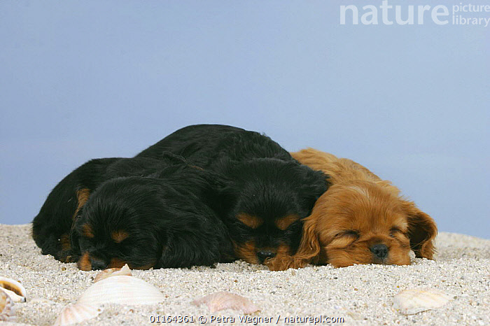 Domestic dogs, three Cavalier King Charles Spaniel puppies, 6 weeks, sleeping on sand, BABIES,BABY,CUTE,DOGS,FRIENDS,JUVENILE,lying down,pedigree,PETS,puppies,puppy,Studio,toy dogs,VERTEBRATES,Canids, Petra Wegner