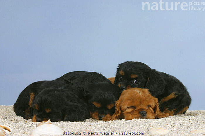 Domestic dogs, four Cavalier King Charles Spaniel puppies, 6 weeks, sleeping in sand, BABIES,BABY,CUTE,DOGS,FRIENDS,JUVENILE,lying down,pedigree,PETS,puppies,puppy,Studio,toy dogs,VERTEBRATES,Canids, Petra Wegner