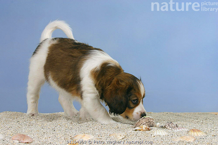 Domestic dog, Small Dutch Waterfowl Dog / Kooiker Hound / Kooikerhondje puppy, 6 weeks, sniffing around shells and sand  ,  BABIES,BABY,CUTE,DOGS,gundogs,JUVENILE,pedigree,PETS,puppies,puppy,sporting,Studio,VERTEBRATES,Canids  ,  Petra Wegner