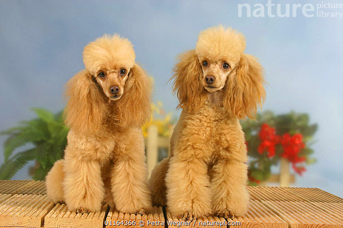 Domestic dogs, two Apricot Miniature Poodles, DOGS,FRIENDS,pedigree,PETS,SITTING,Studio,utility,VERTEBRATES,WORKING,Canids, Petra Wegner