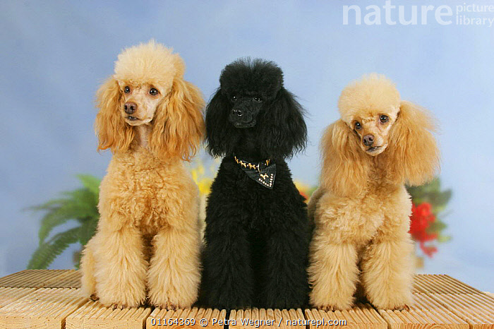 Domestic dogs, Black and Apricot Miniature Poodles sitting in a line  ,  Color,colour,DOGS,FRIENDS,HAIR,pedigree,PETS,ROW,SITTING,Studio,THREE,utility,VERTEBRATES,WORKING,Canids  ,  Petra Wegner