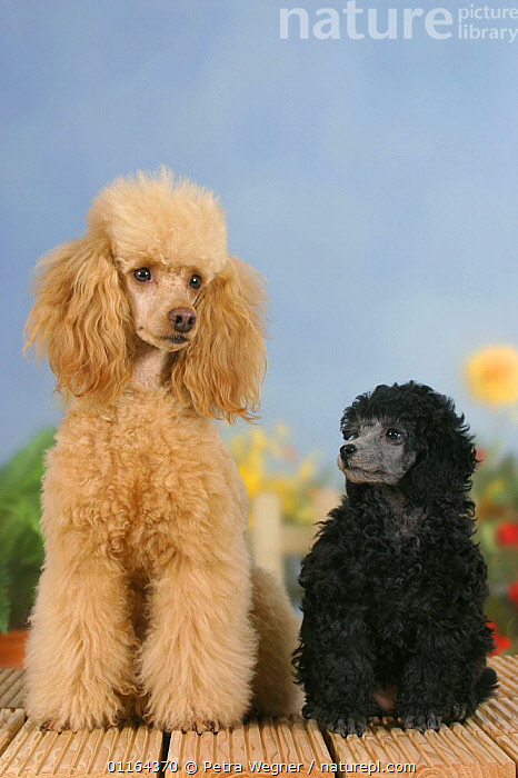 Domestic dog, 6 week old silver Miniature Poodle puppy looking up at apricot Miniature Poodle, BABIES,BABY,BLACK,Color,colour,CUTE,DOGS,FRIENDS,HAIR,JUVENILE,pedigree,PETS,puppies,puppy,SITTING,Studio,utility,VERTEBRATES,VERTICAL,WORKING,Canids, Petra Wegner